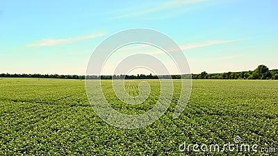 Aero Bloeiende aardappels Bleek wit, - de roze bloemen bloeien op aardappelstruiken op een landbouwbedrijfgebied Aardappel het gr stock videobeelden