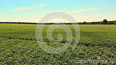 Aero Bloeiende aardappels Bleek wit, - de roze bloemen bloeien op aardappelstruiken op een landbouwbedrijfgebied Aardappel het gr stock footage