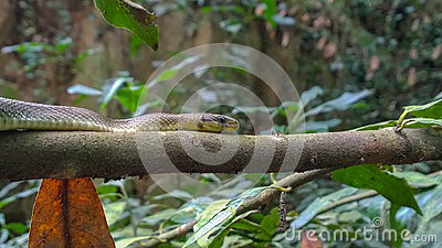 Aesculapian snake on branch
