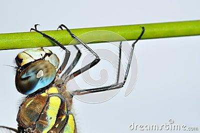 Aeshna mixta dragonfly on green stalk