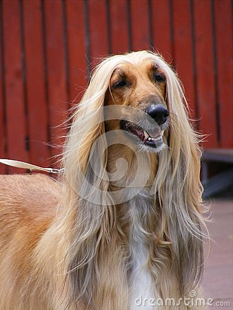 Free Afghan Hound Stock Images - 25721554