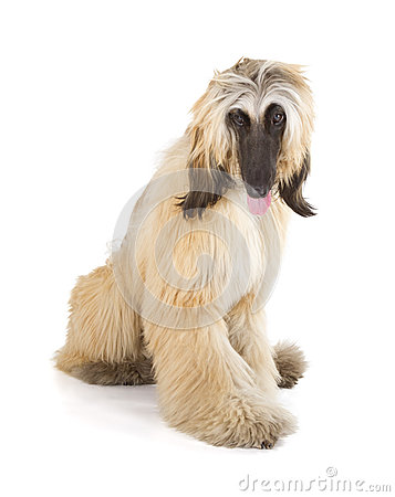 Free Afghan Hound Stock Images - 30642874