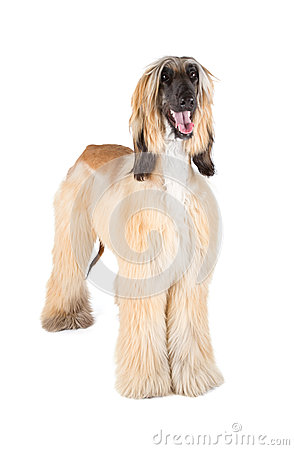 Free Afghan Hound Royalty Free Stock Photo - 30642875
