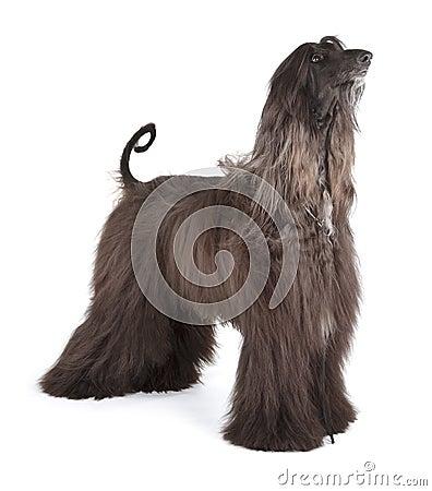 Free Afghan Hound Stock Image - 30787751