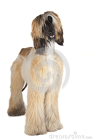 Free Afghan Hound Royalty Free Stock Image - 32946556