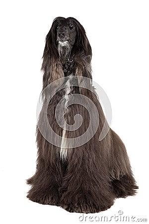 Free Afghan Hound Stock Photos - 32962613