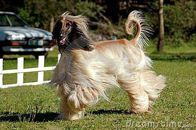 Afghan hound dog running