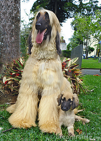 Afghan hound puppy and father