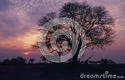 Africa-Acacia tree silhouette