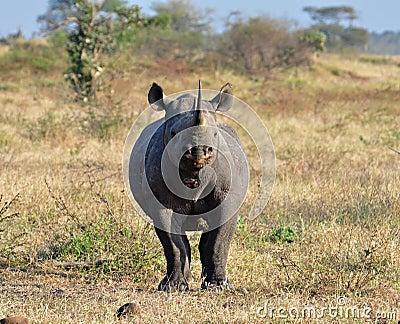 Africa Big Five: Black Rhinoceros