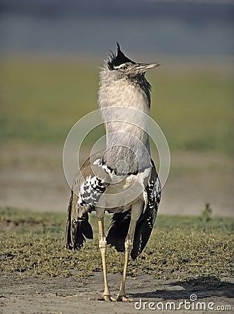 Africa bird-Kori bustard
