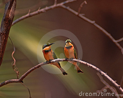Africa bird-Little bee-eaters