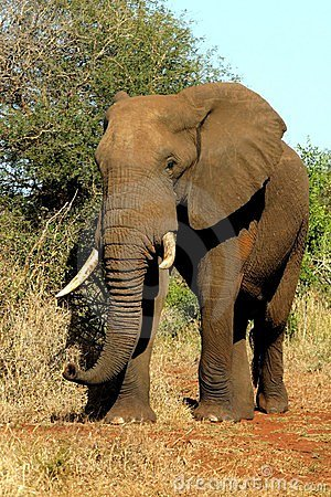 Africa Elephant Royalty Free Stock Photography - Image: 16575647