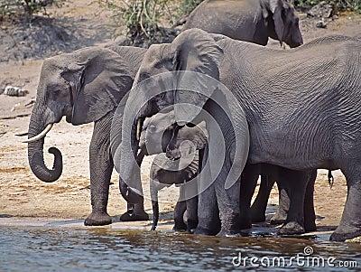 Africa-Elephants