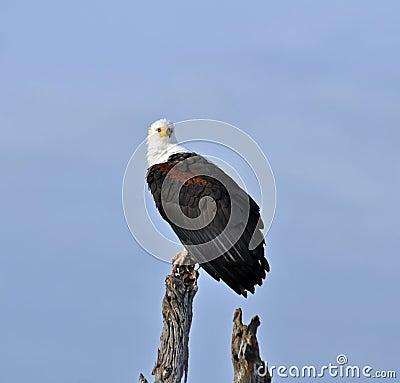 Africa Fish Eagle