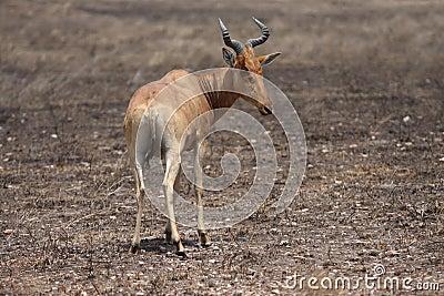 Africa gazelle standing in desert