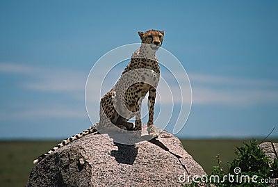 Africa gepard