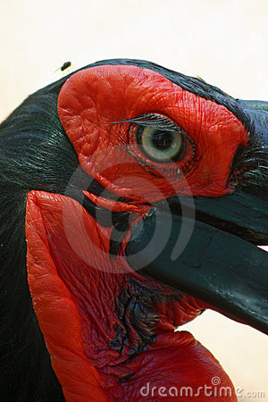 Free Africa Ground Horn Bill Stock Photography - 8820612