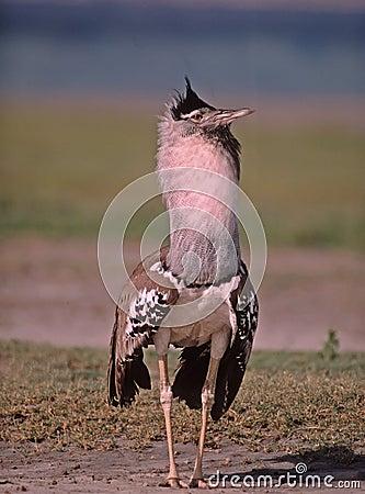 Africa-Kori bustard