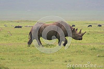 Africa, Tanzania, big rhinoceros