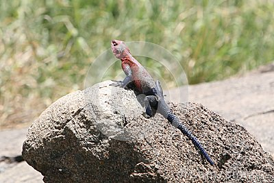 Africa,Tanzania, Portrait Reptile Royalty Free Stock Photos - Image: 15036968