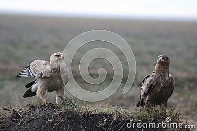 Africa, Tanzania rapaciuos predator