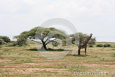 Africa,Tarangire reserve,giraffe