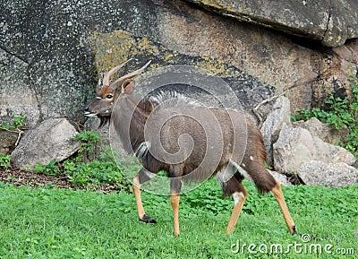Africa Wildlife: Nyala Antelope