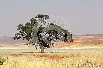 African Acacia tree, Sossusvlei, Namibia