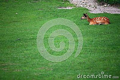 African Animal Sitatunga Tragelaphus spekii