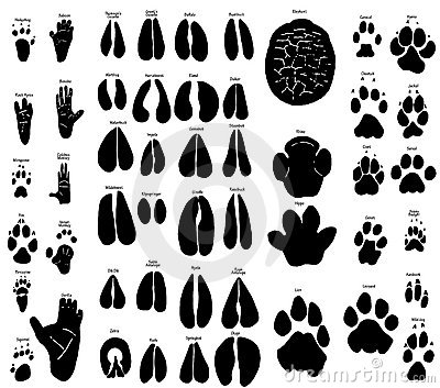African Animal Tracks Stock African Lion Footprints