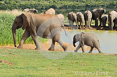 African animals, elephants drinking water