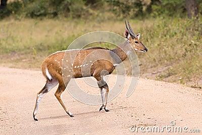 African antelope - bush buck