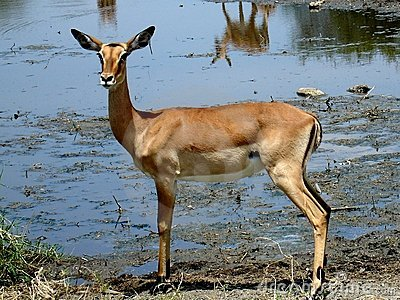 African antilope