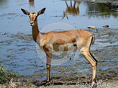 African antilope