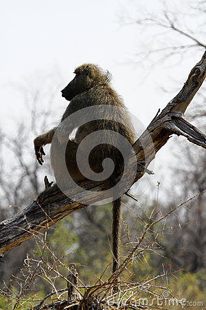 Free African Baboon Royalty Free Stock Image - 46967116