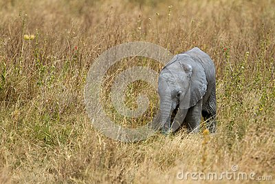 African Baby Elephant