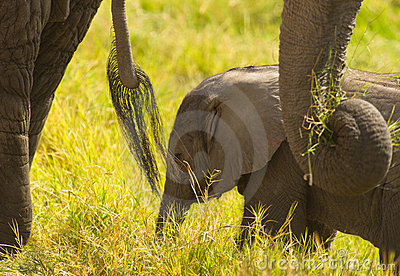 African Baby Elephant with  bodyguards