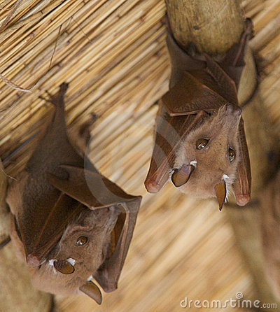 Free African Bats Royalty Free Stock Image - 6178496