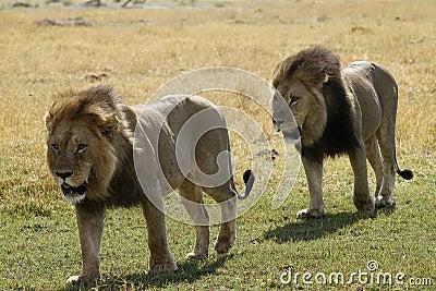 African Big Boys