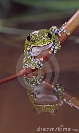 African big eye tree frog