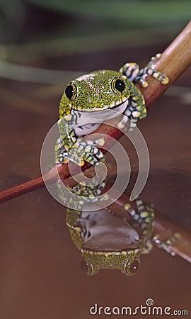 African big eye tree frog