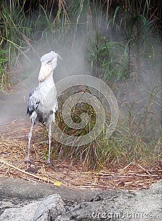 African bird - Shoebill stork in morning mist