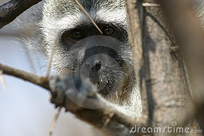 African Blue Monkey Face