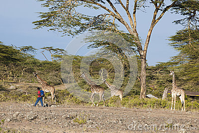 African boy passing giraffes Editorial Photo