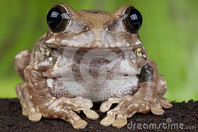 African broad mouth tree frog