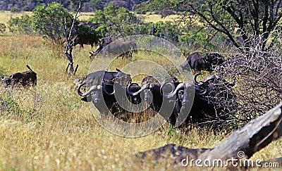 African Buffalo 3