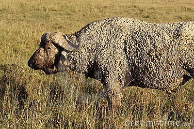 African buffalo dipped in mud, Kenya