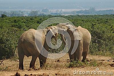 African bull elephants