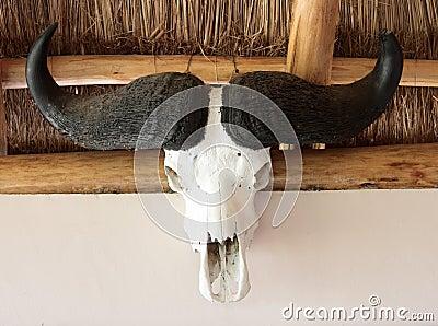 African bull skull